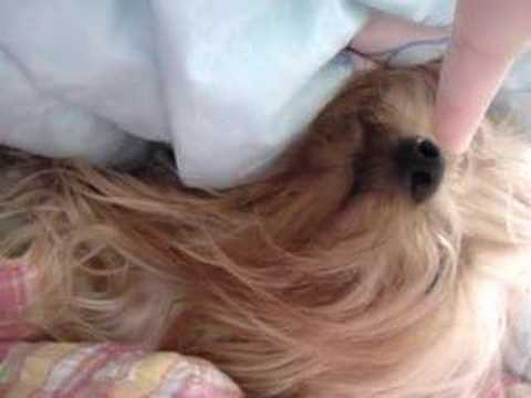 yorkie sleeping with owner