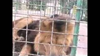 آتش گرفتن شیر در باغ وحش مشهد در اثر انداختن سیگار در قفس