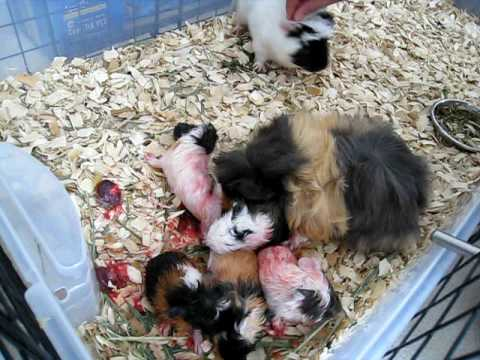 Guinea Pig Giving Birth to Five Babies - 2/4