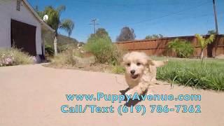 """Hendrix"" Male CavaPoo Designer Puppy For Sale in San Diego!!"