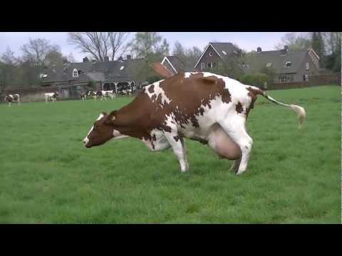 Koeien in de wei april 2012