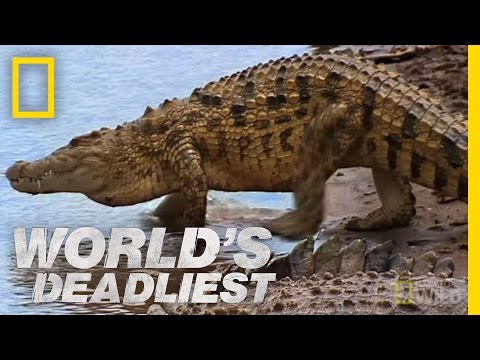 World's Deadliest - Croc Attack!