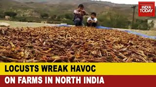 Locusts Attack India: Amid Covid-19 Pandemic, Farmers Now Battle Massive Locust Attack