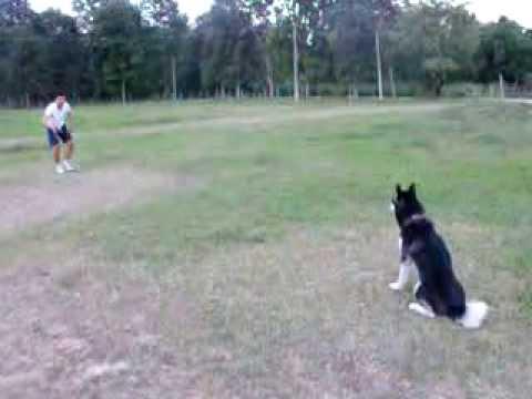 ฝึกสุนัขขอนแก่น_ไซบีเรียน2