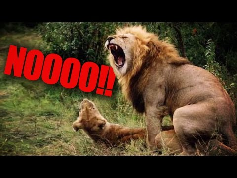 African Lion Extinct By 2050?!?