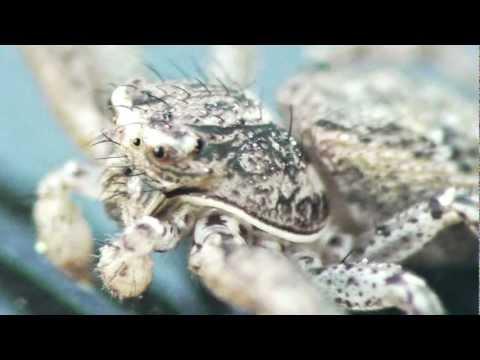 Maravillas diminutas: Xysticus cristatus