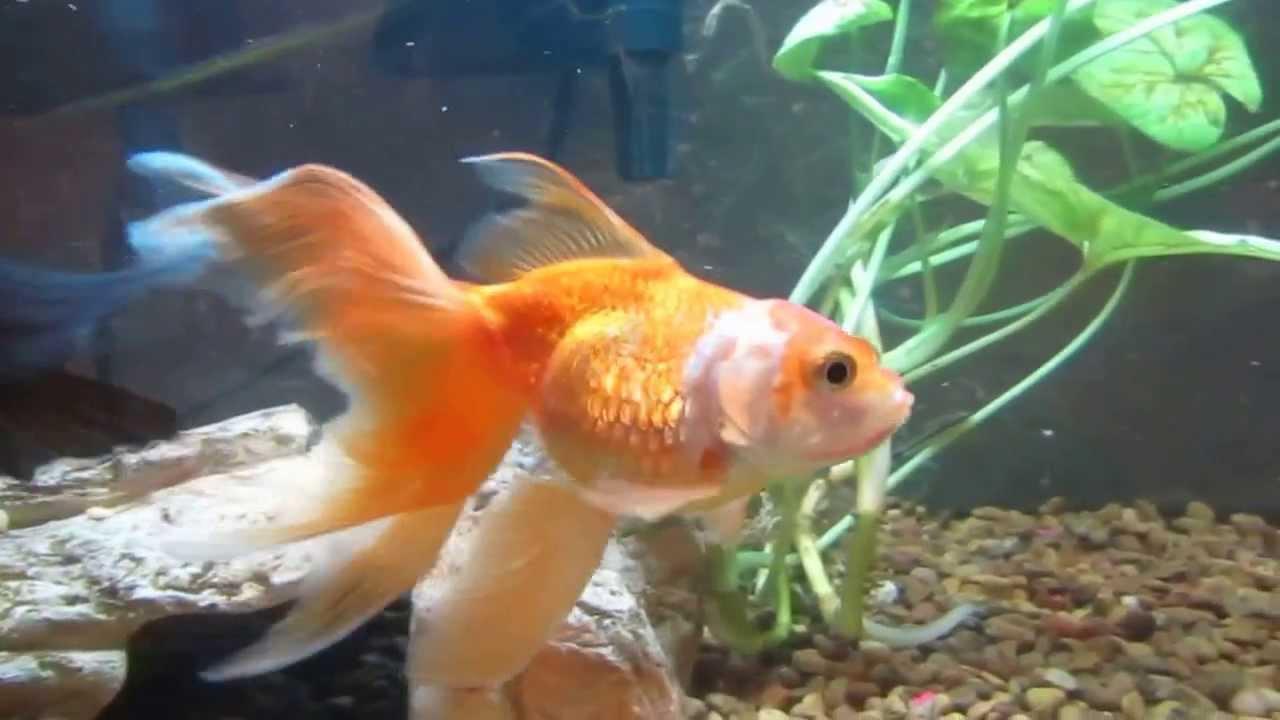Как определить беременность аквариумных рыбок