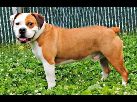 Doogan The English Bull Dog/Beagle Mix Boy AHS Tinton Falls, N.J., May 24, 2012 - YouTube