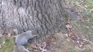 Részeg mókus