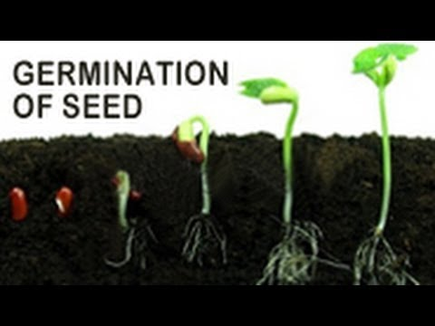 the germination of seeds of the