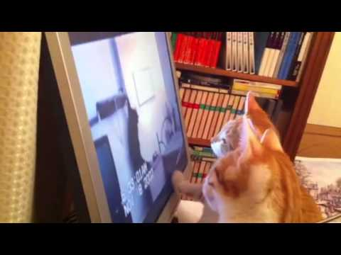 Kittens watching cats on TV