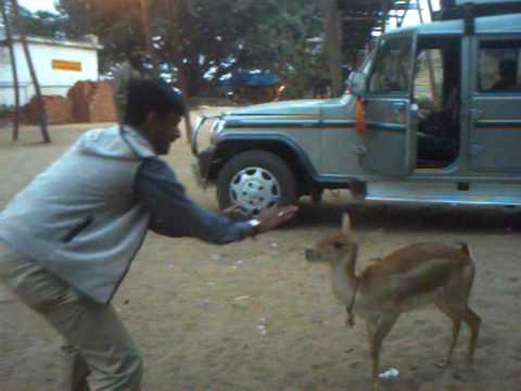 Playing With A Deer At Maa Tara Tarini Temple, Berhampur, Ganjam, Odisha video