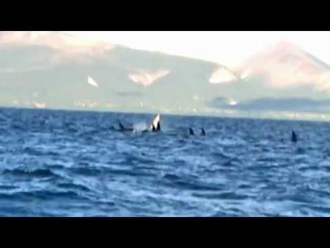 White Orca - Fehér Orka