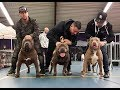A day at the bully show in the Netherlands with some great dogs