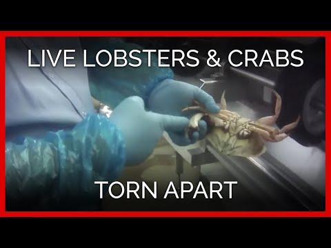 Exposé: Live Lobsters, Crabs Torn Apart