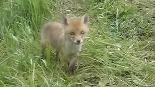 Лисята. Любопытство сильнее страха. Young foxes. Curiosity is stronger than fear.