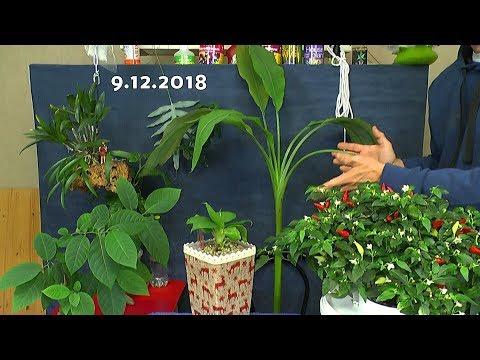 Bananen Staude im Haus das Wachstum. Mango im Wachstum und andere Exoten Vorbereitung zum Wachsen