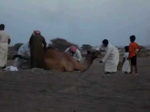 DEFLORATION OF A CAMEL IN OMAN