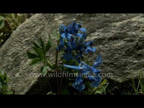 Corydalis cashmeriana - Kashmir Corydalis flowering in Western Himalaya