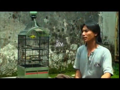 Kicau Ngalam Tips & Trick Burung Pleci video