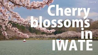 Cherry blossoms in Tohoku: Three viewing spots in Iwate