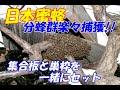 2013年日本蜜蜂分蜂