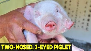 Pig Born with TWO Noses, THREE Eyes