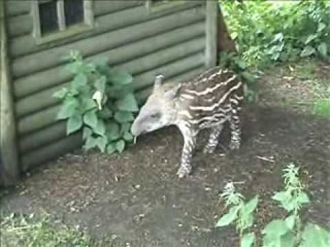 FLAMINGOLAND OFFICIAL TV 17 Baby Tapir