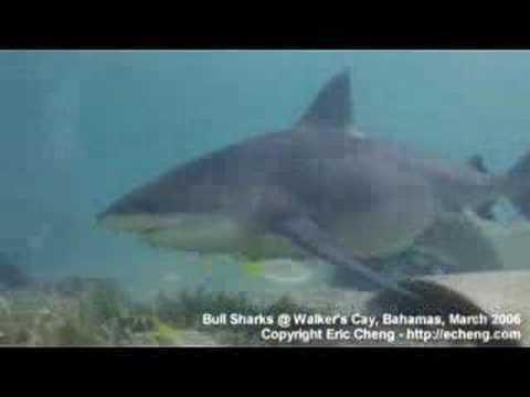 Tiger shark vs hammerhead shark - photo#9