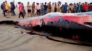 Whale Fish washed on the Juhu Beach Shore Mumbai INDIA