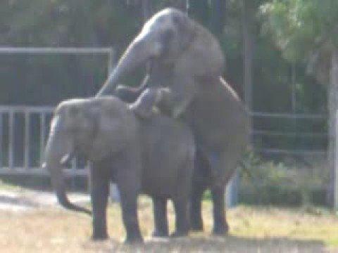 Apareamiento de Elefantes (www.enanos.info)