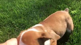 Beabull puppies seeking a loving home.