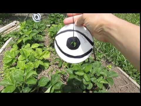 Как защитить клубнику и черешню от птиц (скворцов)