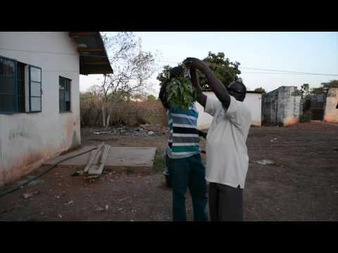 Making Moringa Leaf Powder by Video Griot