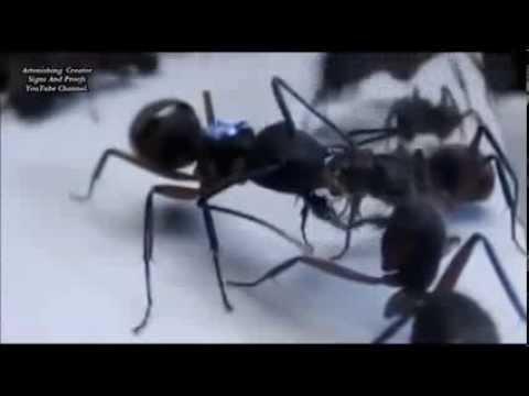 Miracles d'Allah:les fourmis temoignent de la veracite de l' islam et du Saint Coran !