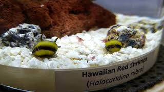Horned Nerite Snails with Hawaiian Red Shrimps (Opae Ula)
