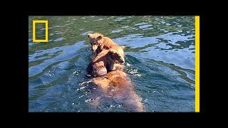 Adorable Bear Cubs Hitch a Ride on Mom's Back   National Geographic
