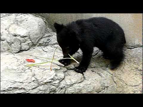 上野動物園のニホンツキノワグマの赤ちゃん。Baby Japanese black bear.#08