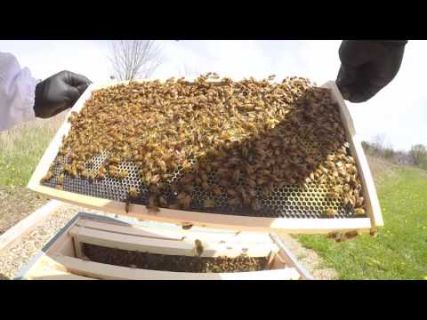 Backyard Beekeeping First Hive Inspection Y1.V6
