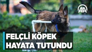 Felçli köpek su borusu ve kovayla hayata tutundu