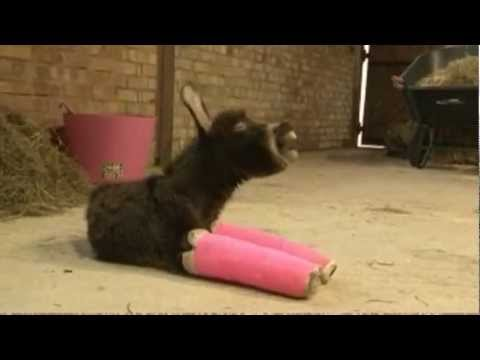 Cute Baby donkey has her front legs set in pink cast