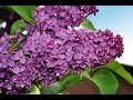 Рома Бахле и Рада Рай Цветет сирень у дома нашего The Lilac Blossom At Our House HD mp3