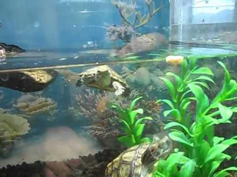 Tortugas orejas rojas dorothy y dario youtube for Acuario tortugas
