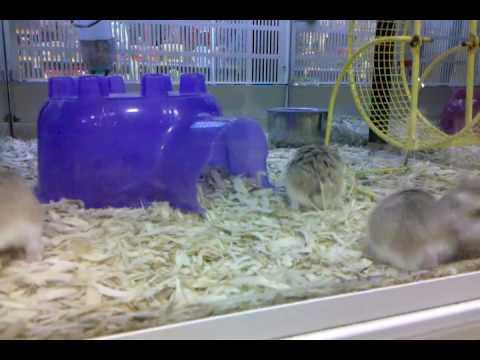 Robo Hamster Petsmart Dwarf Hamsters at Petsmart