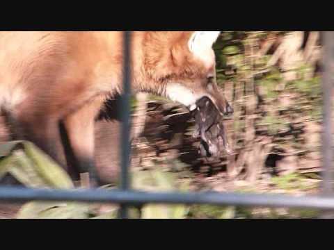 上野動物園タテガミオオカミ_エノンの子育て