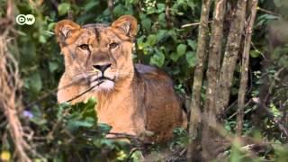 Protecting Ethiopia's Mountain Lions |