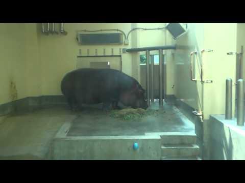 福岡市動物園 カバ おやつの時間
