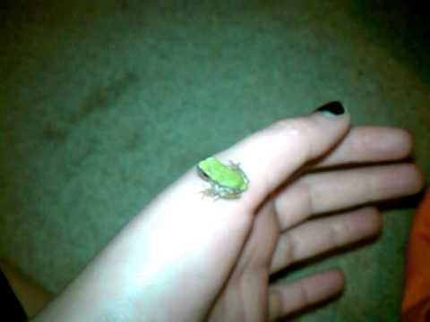 Baby Grey Tree Frogs eating fruitflies  YouTube