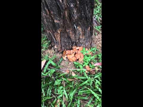 Ataque de Armillariella tabescens a árboles en Xalapa, Ver. Mexico