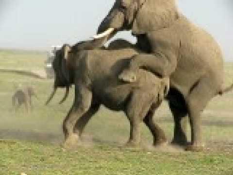 Elephant en rut au Kenya